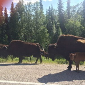 Bison on the AlCan