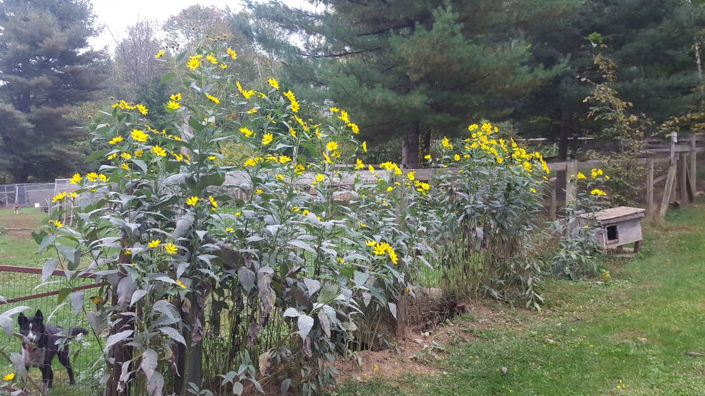 Fall yard flowers
