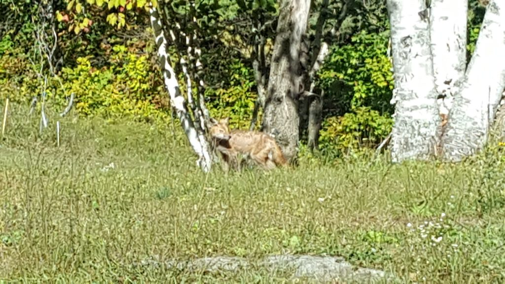 Red fox in L'Amable, Ontario