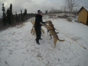 Getting ready for the first Mush in the Yukon on Oct. 28th 2020 with Rosie and Timber